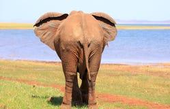 Οπίσθιο άκρο ενός ελέφαντα δίπλα caribou λιμνών στοκ φωτογραφίες με δικαίωμα ελεύθερης χρήσης