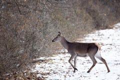 Οπίσθιο περπάτημα στο χιόνι στο δάσος στοκ εικόνα με δικαίωμα ελεύθερης χρήσης
