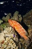 Οπίσθιο Grouper κοραλλιών (miniata cephalopholis) Στοκ φωτογραφία με δικαίωμα ελεύθερης χρήσης