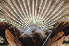 Οπισθοσκόπος του αρσενικού peacock που επιδεικνύει τα φτερά ουρών Πίσω άποψη Στοκ φωτογραφίες με δικαίωμα ελεύθερης χρήσης