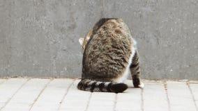 Οπισθοσκόπος του περιπλανώμενου καλλωπισμού γατών στην οδό φιλμ μικρού μήκους