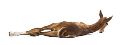 Οπισθοσκόπος foal που βρίσκεται στην πλευρά Στοκ Εικόνες