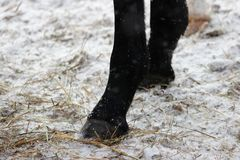 οπλές ενός μαύρου αλόγου στα μπροστινά άκρα που στάσεις στο έδαφος στοκ φωτογραφίες με δικαίωμα ελεύθερης χρήσης