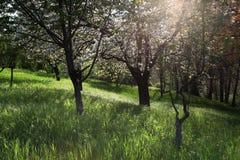 Οπωρωφόρα δέντρα στο άνθος στοκ εικόνα με δικαίωμα ελεύθερης χρήσης