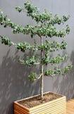 Οπωρωφόρο δέντρο σε ένα δοχείο Στοκ Φωτογραφία