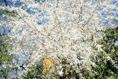 Οπωρωφόρο δέντρο την άνοιξη Στοκ Εικόνες