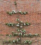 Οπωρωφόρο δέντρο της Apple Στοκ Εικόνες