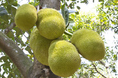 Οπωρωφόρο δέντρο του Jack στη νότια Ινδία. Στοκ Εικόνα