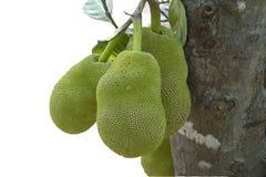 Οπωρωφόρο δέντρο του Jack στη νότια Ινδία. Στοκ Εικόνες