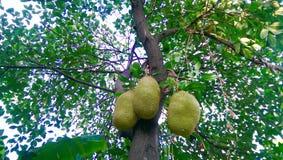 Οπωρωφόρο δέντρο Jackfruit Στοκ φωτογραφία με δικαίωμα ελεύθερης χρήσης