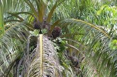 Οπωρωφόρο δέντρο φοινικών στον τομέα των φυτειών στοκ φωτογραφίες με δικαίωμα ελεύθερης χρήσης