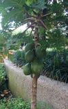 Οπωρωφόρο δέντρο ψωμιού με τα πράσινα φρούτα στοκ φωτογραφίες
