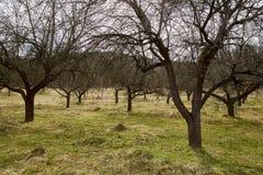Οπωρώνας δέντρων της Apple την άνοιξη Στοκ Εικόνα