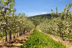 οπωρώνας ανθών μήλων στοκ εικόνα