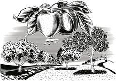 Οπωρώνας βερικοκιών κλάδων ελεύθερη απεικόνιση δικαιώματος