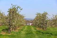 Οπωρώνας δέντρων της Apple άνοιξης Στοκ Φωτογραφία