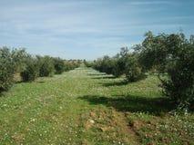 Οπωρώνας ελιών την άνοιξη στην Ιορδανία στοκ φωτογραφία