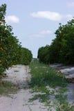 Οπωρώνας εσπεριδοειδών στοκ φωτογραφία με δικαίωμα ελεύθερης χρήσης