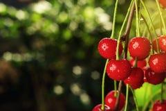 Οπωρώνας κερασιών, δέντρο κερασιών, ώριμα βύσσινα που αυξάνεται στο κεράσι Στοκ Εικόνες