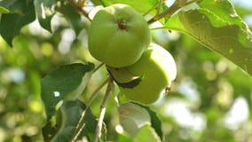 Οπωρώνας μήλων το καλοκαίρι Μήλα στο δέντρο Κινηματογράφηση σε πρώτο πλάνο Πράσινα μήλα στον κλάδο τα όμορφα μήλα ωριμάζουν στο δ φιλμ μικρού μήκους
