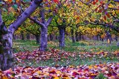 Οπωρώνας μήλων με τα κόκκινα φύλλα Στοκ εικόνα με δικαίωμα ελεύθερης χρήσης
