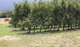 Οπωρώνας με τα δέντρα της Apple στα βουνά της βόρειας Ιταλίας Στοκ φωτογραφία με δικαίωμα ελεύθερης χρήσης
