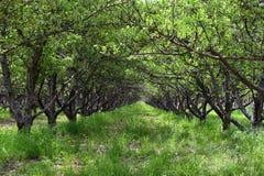 Οπωρώνας οπωρωφόρων δέντρων της Apple άνοιξη Υπόλοιπος κόσμος των δέντρων μηλιάς με την πράσινη χλόη και των πικραλίδων στη Γιούτ Στοκ εικόνα με δικαίωμα ελεύθερης χρήσης