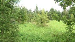 Οπωρώνας που εισβάλλεται με την πράσινη χλόη Παλαιός εγκαταλειμμένος κήπος, ξηρός - οπωρωφόρα δέντρα απόθεμα βίντεο