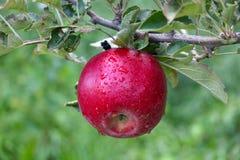 Οπωρώνας της Apple έτοιμος για τη συγκομιδή Στοκ Φωτογραφία
