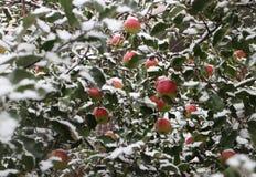 Οπωρώνας της Apple κάτω από το χιόνι Στοκ Φωτογραφίες