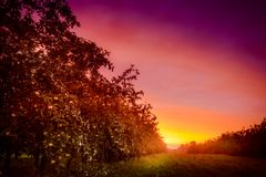 Οπωρώνας της Apple και ένα καταπληκτικό ηλιοβασίλεμα Στοκ Εικόνα