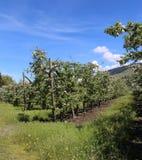 Οπωρώνας της Apple με τα δέντρα στην άνθιση Στοκ φωτογραφία με δικαίωμα ελεύθερης χρήσης