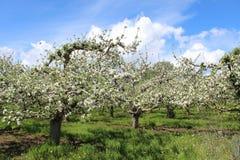 Οπωρώνας της Apple με τα δέντρα στην άνθιση Στοκ Εικόνα