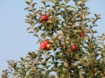 Οπωρώνας της Apple με τα κόκκινα ώριμα μήλα στα δέντρα Στοκ φωτογραφίες με δικαίωμα ελεύθερης χρήσης