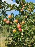 Οπωρώνας της Apple με τα κόκκινα ώριμα μήλα Στοκ Εικόνες