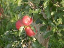 Οπωρώνας της Apple με τα κόκκινα ώριμα μήλα Στοκ φωτογραφίες με δικαίωμα ελεύθερης χρήσης