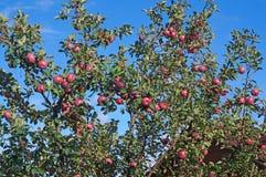 Οπωρώνας της Apple με τα κόκκινα ώριμα φρούτα Στοκ Εικόνα