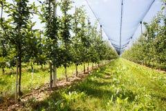 Οπωρώνας της Apple με τα ωριμασμένα μήλα που αυξάνονται στα δέντρα Στοκ Εικόνες