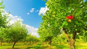 Οπωρώνας της Apple με τα ώριμα μήλα, χρόνος-σφάλμα απόθεμα βίντεο