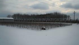 Οπωρώνας της Apple που καλύπτεται με το χιόνι κατά τη διάρκεια του χειμώνα Στοκ Εικόνες