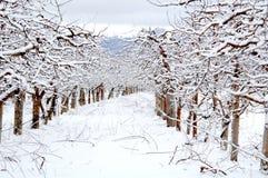 Οπωρώνας της Apple που καλύπτεται με το χιόνι το χειμώνα Στοκ Εικόνες