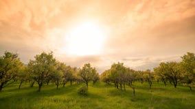 Οπωρώνας της Apple στην ημέρα χρονικών άνοιξη ηλιοβασιλέματος Timelapse 4K απόθεμα βίντεο