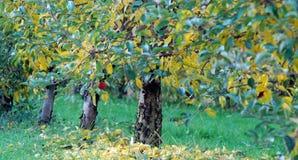 Οπωρώνας της Apple το φθινόπωρο με ένα ξεχασμένο μήλο Στοκ Φωτογραφία