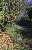 Οπωρώνας της Apple το φθινόπωρο Στοκ Εικόνα