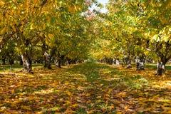 Οπωρώνας της Apple το φθινόπωρο Στοκ φωτογραφία με δικαίωμα ελεύθερης χρήσης