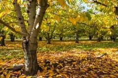 Οπωρώνας της Apple το φθινόπωρο Στοκ Εικόνες