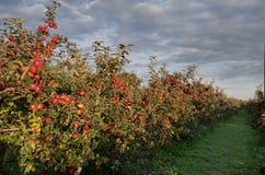 Οπωρώνας της Apple Στοκ φωτογραφία με δικαίωμα ελεύθερης χρήσης