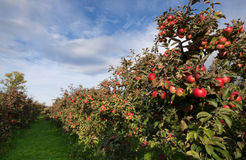 Οπωρώνας της Apple Στοκ φωτογραφίες με δικαίωμα ελεύθερης χρήσης