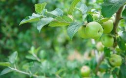 Οπωρώνας 3 της Apple Στοκ Εικόνες