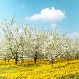 Οπωρώνας των ανθίζοντας δέντρων κερασιών Στοκ φωτογραφίες με δικαίωμα ελεύθερης χρήσης